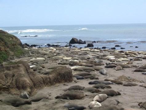 Seeelefanten direkt am Highway 1, unweit von San Simeon