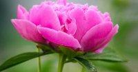 К вопросу о том, почему не цветут пионы