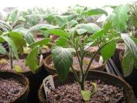 Как вырастить рассаду помидор - подготовка семян, посадка и уход