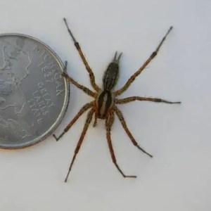 Agelenopsis American grass spider