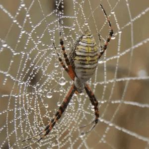 Arigope Trifasciata Spider