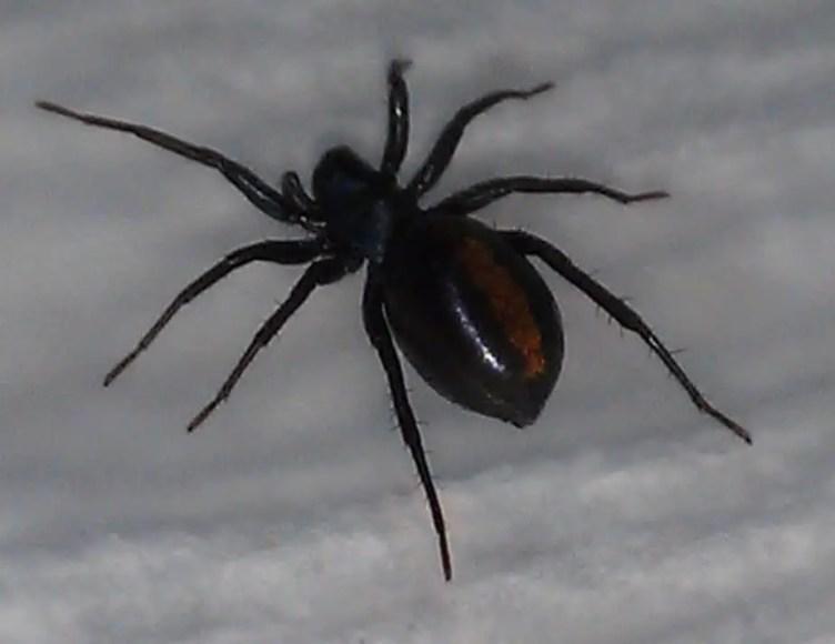 Castianeira descripta spider