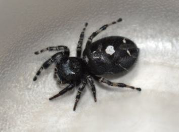 Daring Jumping Spider USA Spiders
