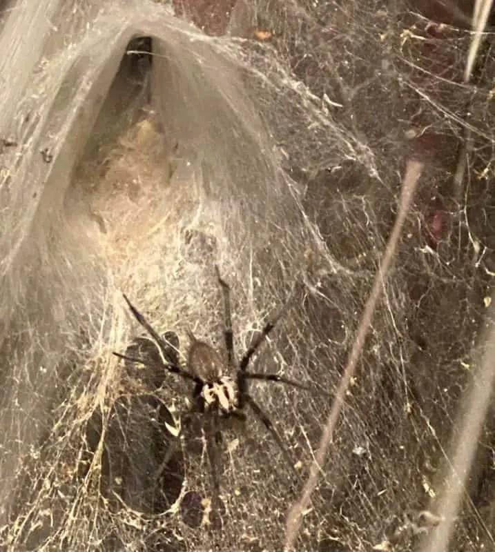 Grass spider in funnel web agelenopsis