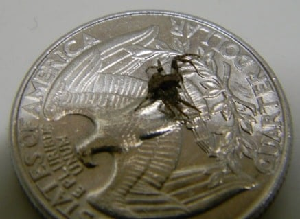 Xysticus - Ground Crab Spider size compared to a coin