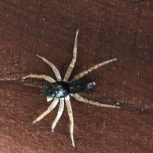 Dark morph dimorphic jumper