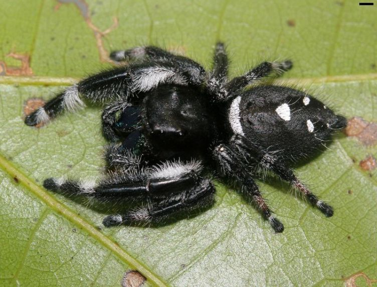Male Regal jumping spider