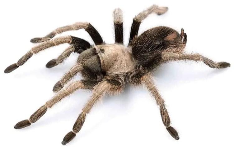 Female california ebony tarantula beige brown dark with spot on abdomen