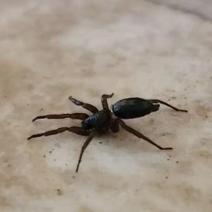 Herpyllus ecclesiasticus eastern parson spider hunting