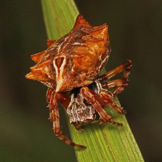 female acanthepeira stellata star bellied orb weaver
