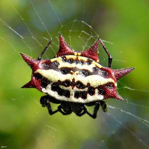 Spiny Orbweaver Gasteracantha cancriformis small round spider with spikes white black red