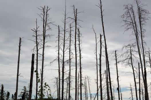 Storm ragged trees along Gun Flint Trail, MN www.usathroughoureyes.com
