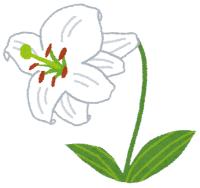 【植物】「まさかこんなに」1本のユリに60輪の花。福井市の公園、世話した女性びっくり!