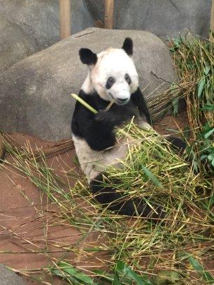 16 zoo panda bear