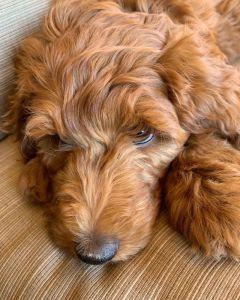 Roxy_pup