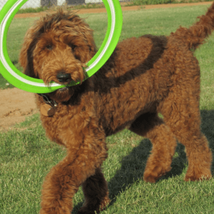 Photo Gallery- F1b Goldendoodle 71