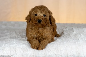Photo Gallery- F1b Labradoodle 43