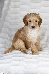 Photo Gallery- F1b Labradoodle 6