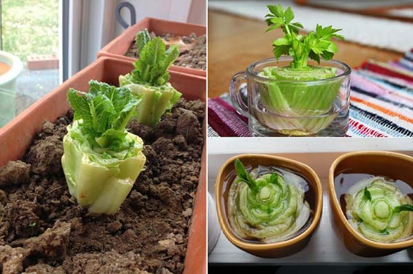 Keep Fresh Greenery At Grasp With Vegetables That Regrow From Scraps-usefuldiyprojects (3)