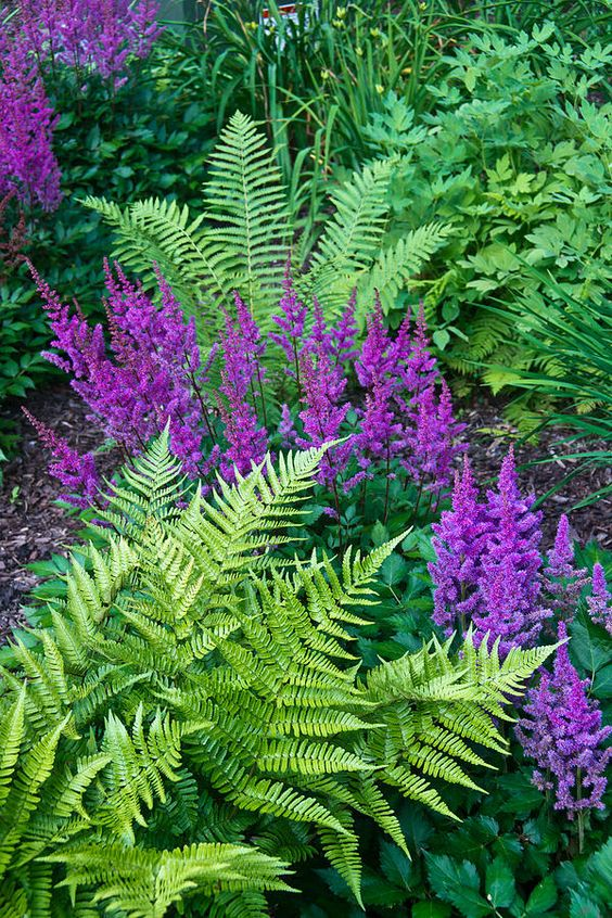 Fern in contrast with astilbe perennial flowers.