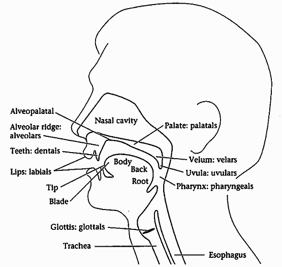 Anatomy Of Human Vocal Chords