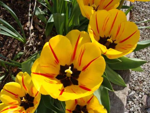 Apeldoorn Tulips