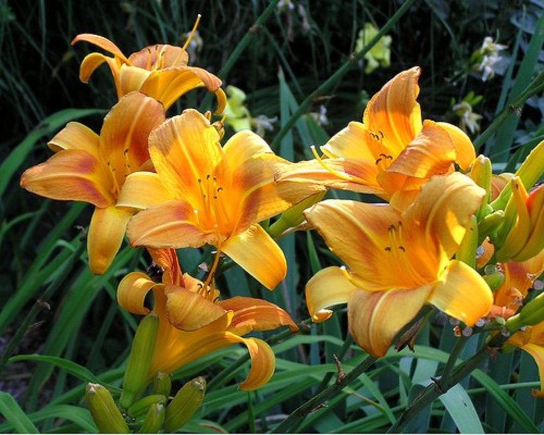 Daylilies one of the best perennials