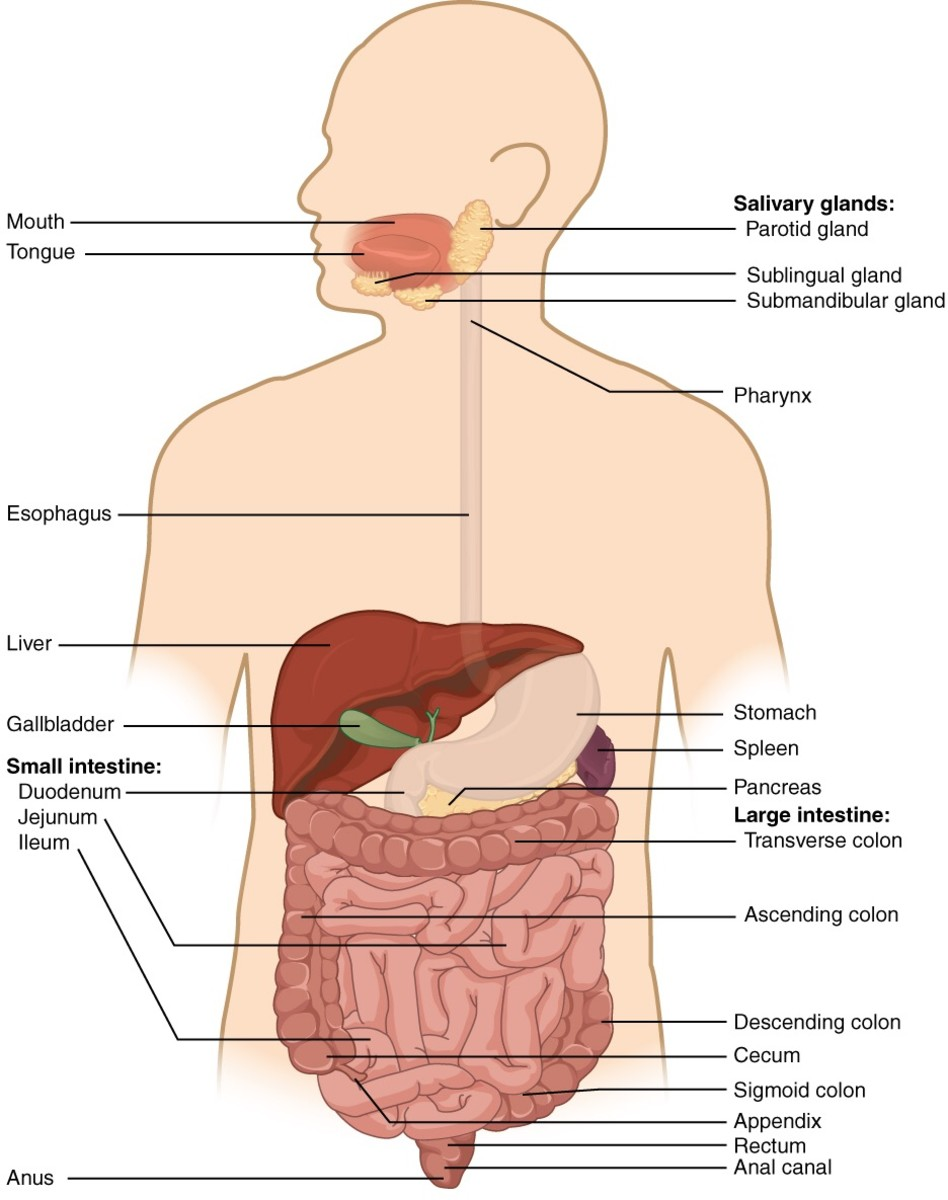 The Pancreas Trypsin Protein Digestion And Pancreatitis