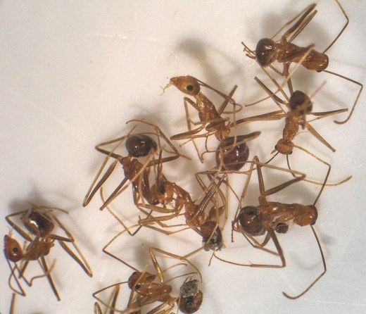 Home Remedies For Fire Ants Bites