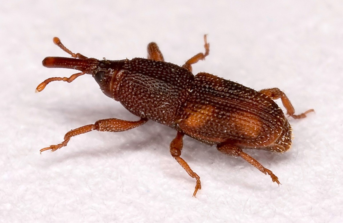 What Weevils Flour Causes