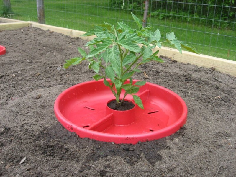 Tomato Craters help with watering tomatoes