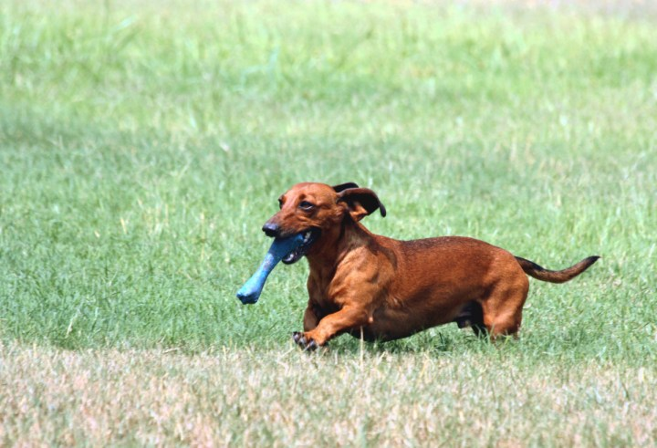 Smooth-haired dachshund with his chew toy.