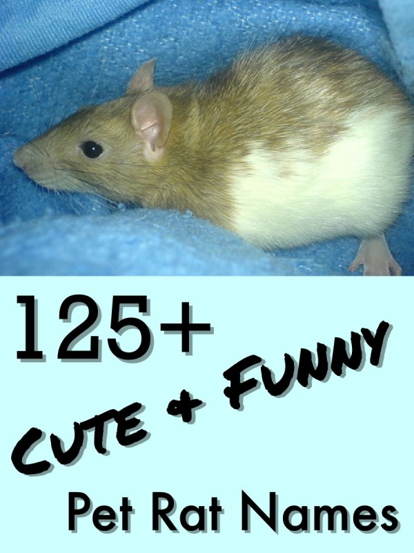 125 Cute and Clever Names for Your Pet Rat PetHelpful
