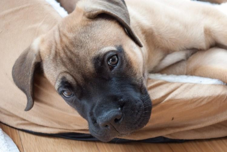 Bullmastiffs podem parecer duros, mas são sensíveis e doces.
