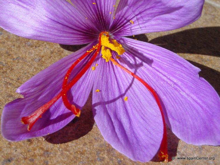 Growing Saffron | HubPages