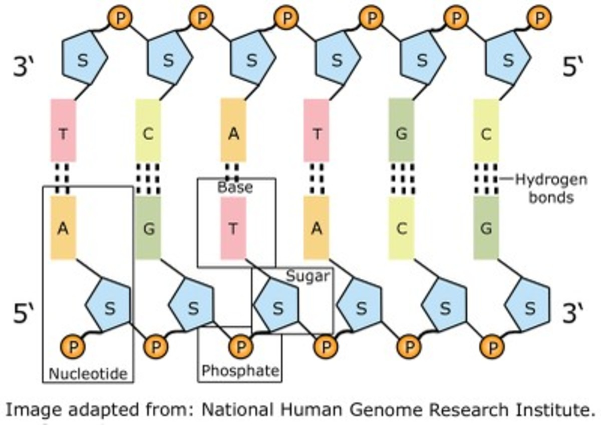 What Is Dna Nucleotides Bases And Information Storage