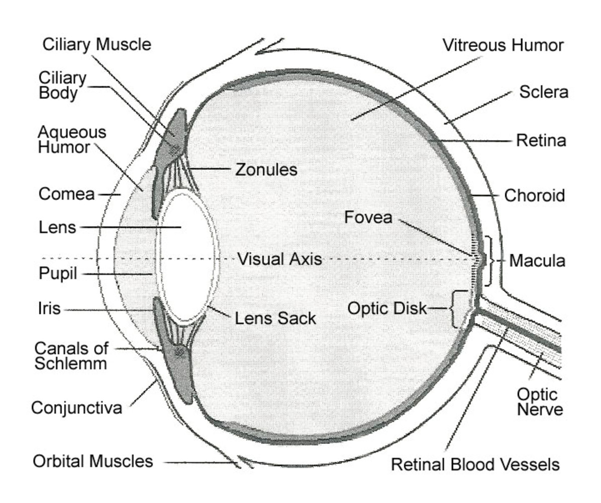 Internal Parts And Functions Of The Eye