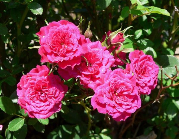 Growing a Miniature Rose Bush Outdoors hubpages