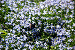 Chionodoxa is a good choice for naturalizing