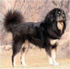 8 Breeds of Himalayan Mountain Dogs: Sheepdogs, Mastiffs, and More | PetHelpful