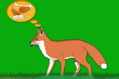 The fox yearns for food.