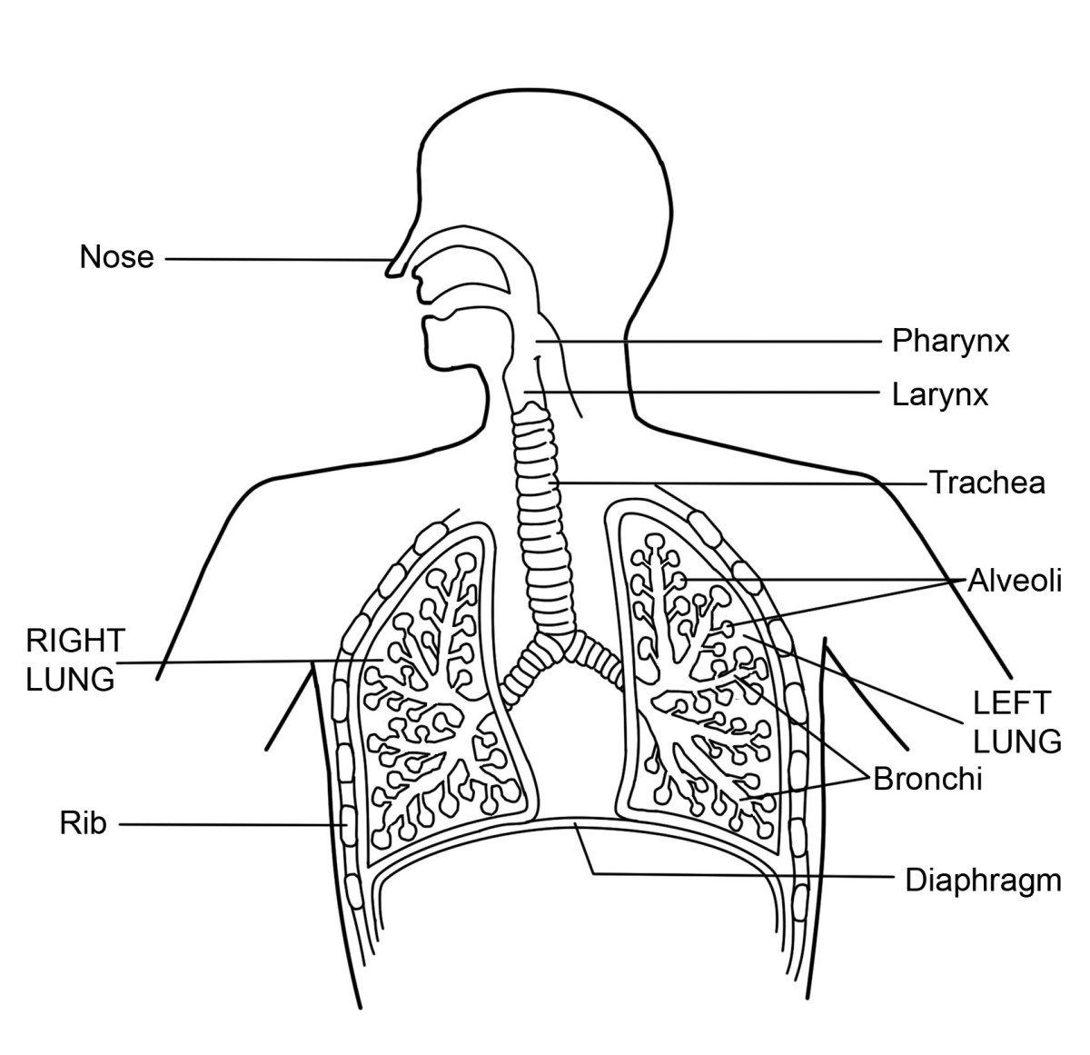Labeled Diagram Of The Respiratory System