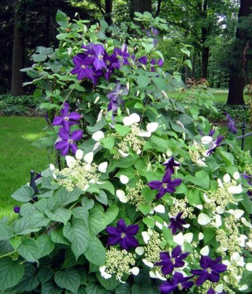 purple clematis