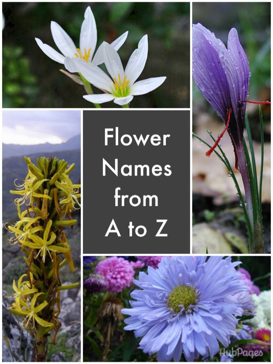 List of Flower Names   HubPages Clockwise  zephyranthes  saffron  China aster  and King s Spear
