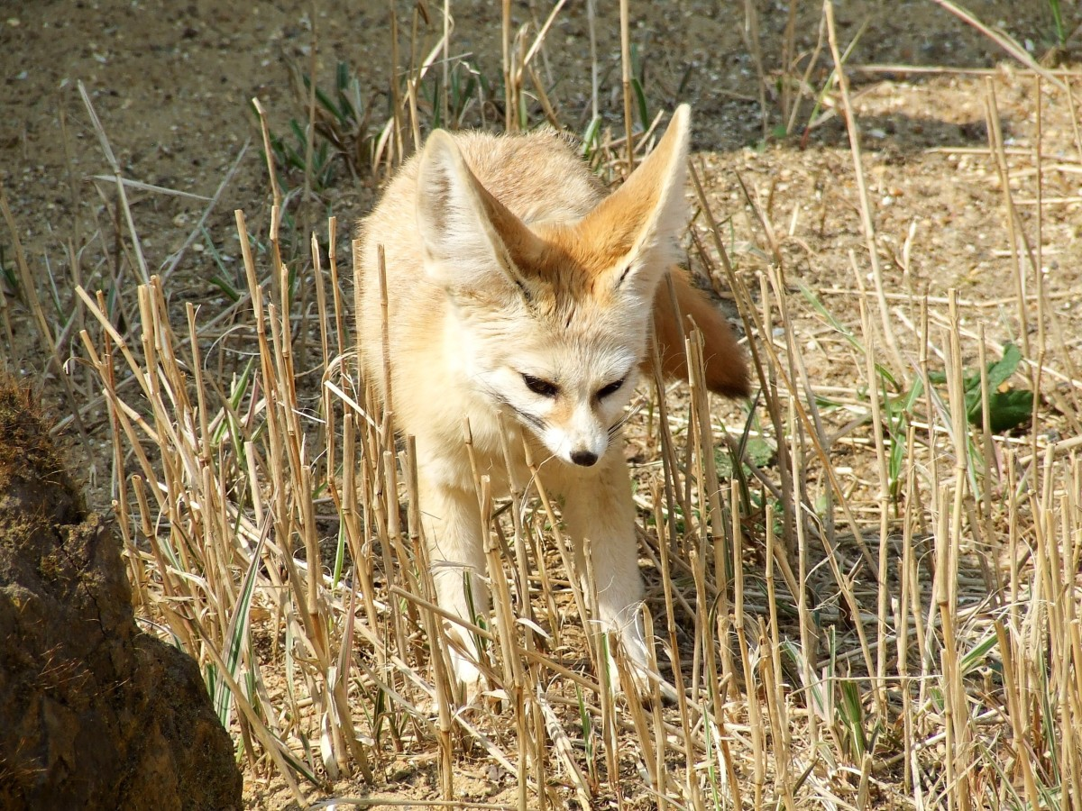 Fennec Foxes Facts Photos Videos And Exotic Pets