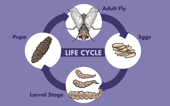 maggot and fly lifecycle