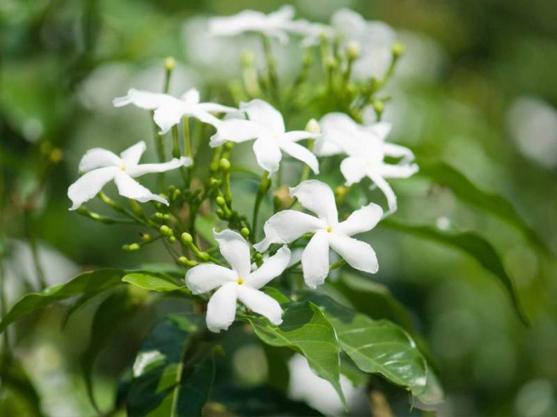 Looking for Fragrant Flowers  Try Planting Scented Jasmine   Dengarden