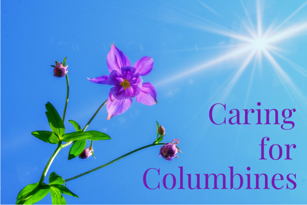 How to Grow and Care for Columbine Flowers | Dengarden
