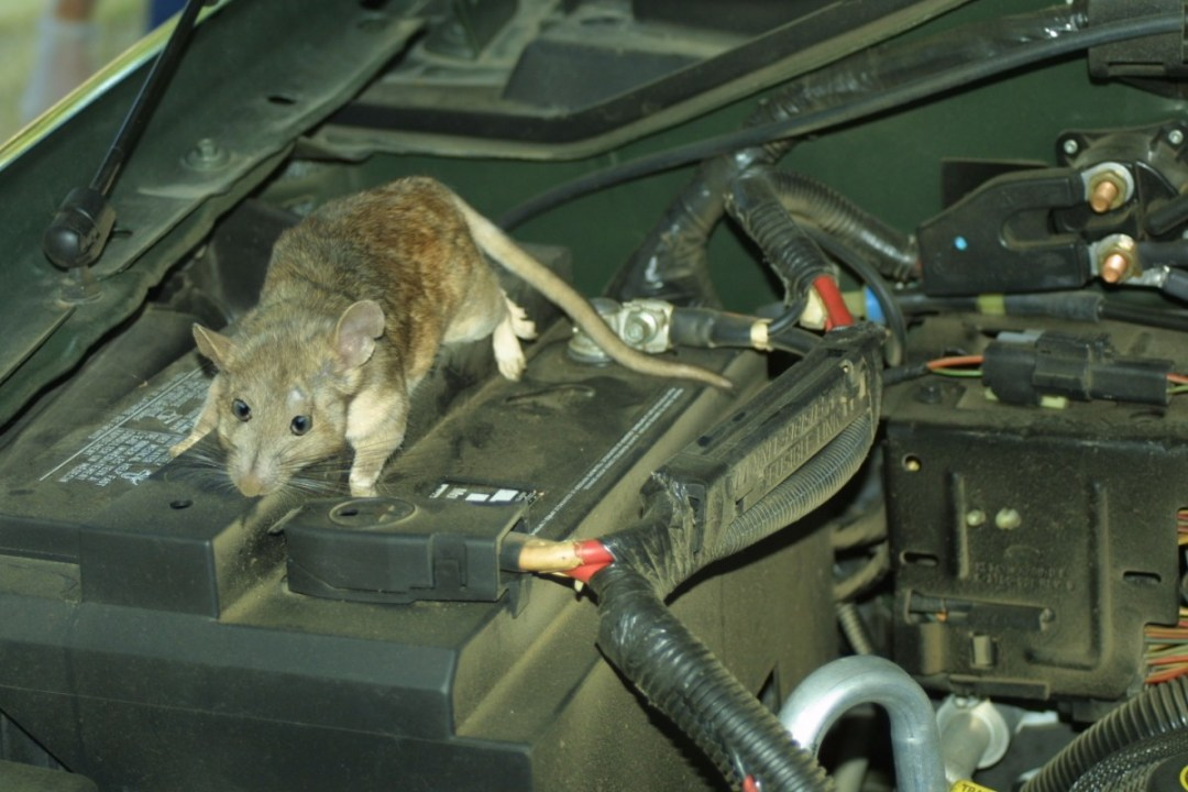 How to prevent rats from breeding in your vehicle  | Auto Spa