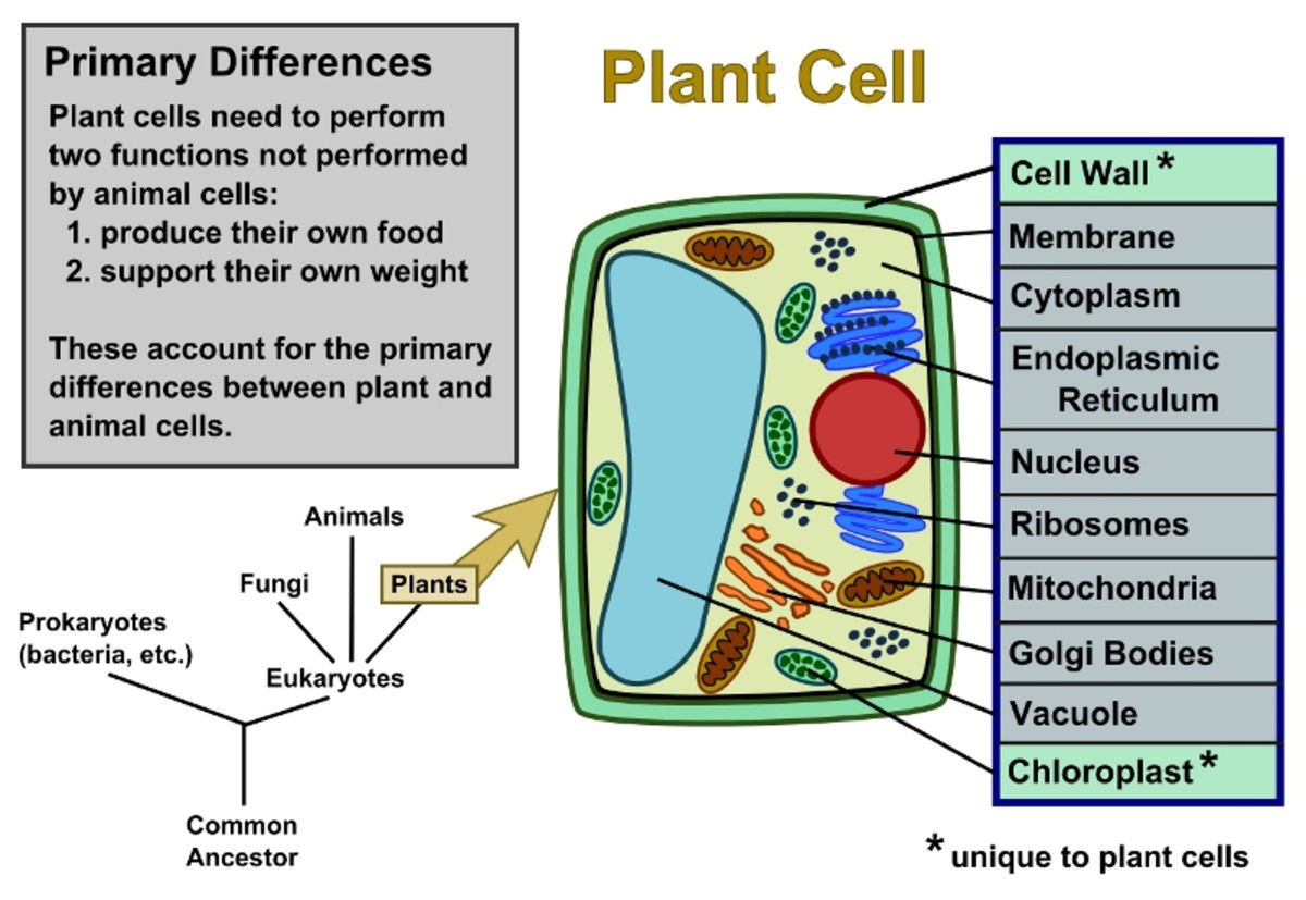 Plant Cells Vs Animal Cells With Diagrams